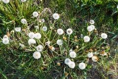 Ovanför sikt av blowballen blommar på grön äng Arkivfoton
