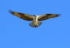 ovanför soaring för fiskgjuse Royaltyfri Foto