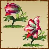 Ovanlig bild av röda liljablommaknoppar Arkivfoton