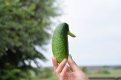 Ovanlig form för gurka i hand Royaltyfri Fotografi