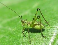 Ovanlig gräshoppa Royaltyfria Foton