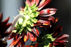 Ovanlig solros eller Helianthus, rött eller apelsin, tillbaka sida Arkivfoton