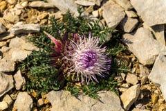 Ovanlig suckulent blomma för ` s Arkivfoton