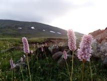 Ovanliga blommor av de Ural bergen royaltyfria foton