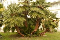 Ovanliga Palma royaltyfria foton