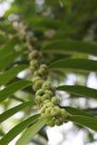 Ovanliga tropiska Berry Fruits på ett träd Fotografering för Bildbyråer