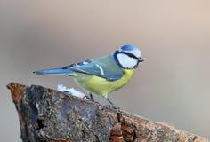 Ovanligt extra slut upp ståenden av den blåa mesen i varmt morgonljus fotografering för bildbyråer