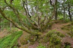 Ovanligt förgrena sig träd arkivfoton