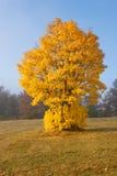 Ovanligt gult träd på backen Royaltyfri Fotografi