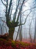 Ovanligt träd i den dimmiga höstskogen Arkivfoto