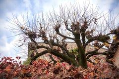 Ovanligt träd i Sirmione Höstbevekelsegrund arkivbild