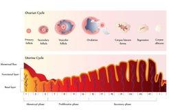Ovariale en BaarmoederCyclus stock illustratie