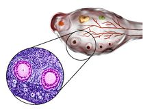 Ovarian follicles, micrograph and illustration Stock Images