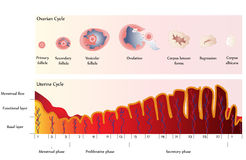 Ovarian and Uterine Cycle Royalty Free Stock Photos