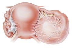 Ovario - inflamaciones Imagenes de archivo