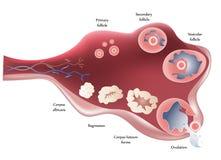 Ovario. Ovulación Fotografía de archivo libre de regalías