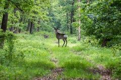Ovas alertas na estrada de floresta na mola Imagens de Stock Royalty Free