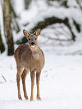 Ovas-cervos Imagens de Stock