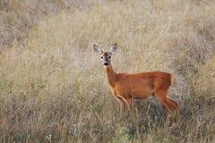 Ovas-cervos fêmeas no fim do verão Fotos de Stock