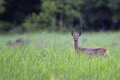 Ovas-cervos na névoa Imagem de Stock
