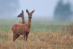 Ovas-cervos na névoa da manhã Imagem de Stock Royalty Free