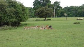 Ovas do rebanho de cervos na selva de Essex fotos de stock royalty free