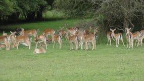 Ovas do rebanho de cervos na selva de Essex foto de stock royalty free