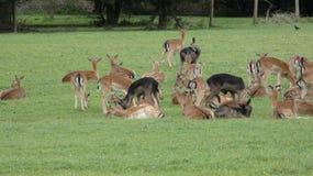 Ovas do rebanho de cervos na selva de Essex foto de stock