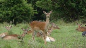 Ovas do rebanho de cervos na selva de Essex fotografia de stock