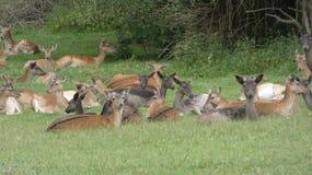 Ovas do rebanho de cervos na selva de Essex imagens de stock