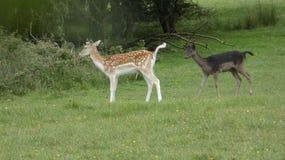 Ovas do rebanho de cervos na selva de Essex fotos de stock