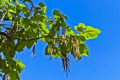 Ovata Catalpa ενάντια στο μπλε ουρανό στοκ εικόνες