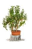 Ovata Crassula или завод нефрита в цветочном горшке с деньгами Стоковое Изображение RF