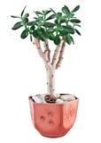 Ovata Crassula или завод нефрита в цветочном горшке Стоковое Изображение RF