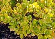 Ovata del Crassula conocido comúnmente como la planta del jade, el árbol de la amistad, la planta afortunada o cierre suculento d foto de archivo libre de regalías