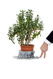Ovata del Crassula o planta del jade con el dinero y el ser humano Imagenes de archivo