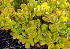 Ovata della crassula conosciuto comunemente come la pianta della giada, l'albero di amicizia, la pianta fortunata o fine succulen fotografia stock libera da diritti