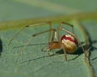 Ovata di Enoplognatha dei ragni della ragnatela Immagine Stock Libera da Diritti