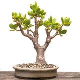 Ovata för jadeväxtCrassula som bonsaiträd Royaltyfria Bilder