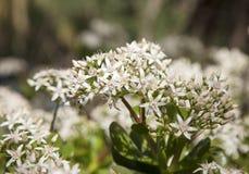 Ovata fleurissant de Crassula, arbre d'argent Photos stock