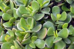 Ovata Jade Plant do Crassula, planta de dinheiro, fim suculento da planta da árvore da amizade acima fotos de stock royalty free