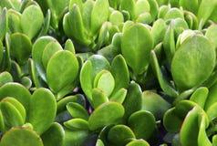 Ovata Jade Plant do Crassula, planta de dinheiro, fim suculento da planta da árvore da amizade acima imagem de stock royalty free