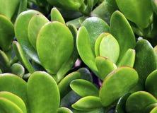 Ovata Jade Plant do Crassula, planta de dinheiro, fim suculento da planta da árvore da amizade acima foto de stock