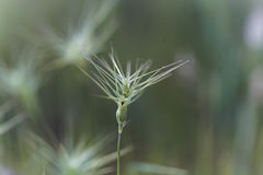 Ovate goatgrass Aegilops geniculata Royalty Free Stock Photography
