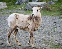 Oveja de las ovejas de carnero con grandes cuernos Imagen de archivo libre de regalías
