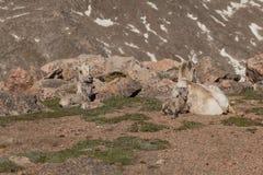 Oveja del Bighorn con el cordero acostado Fotos de archivo libres de regalías