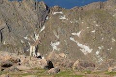Oveja del Bighorn en el alpino Fotos de archivo