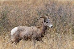 Oveja majestuosa del carnero con grandes cuernos. Foto de archivo libre de regalías