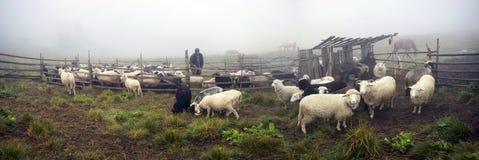 Oveja-pastores de la leche de Hutsuls Foto de archivo