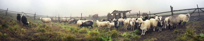 Oveja-pastores de la leche de Hutsuls Imágenes de archivo libres de regalías